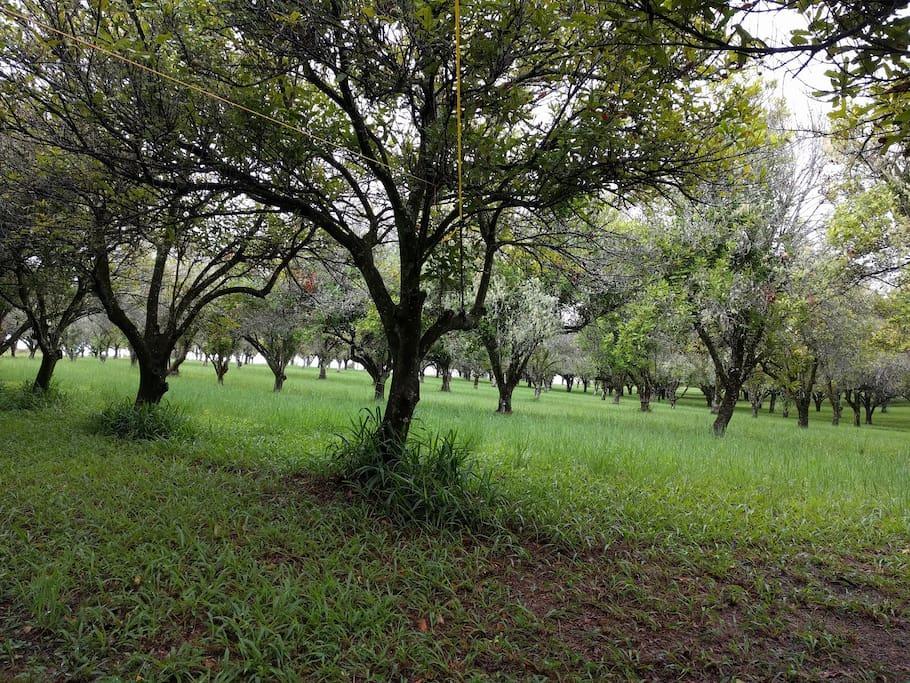 Macadamia season is April through to September