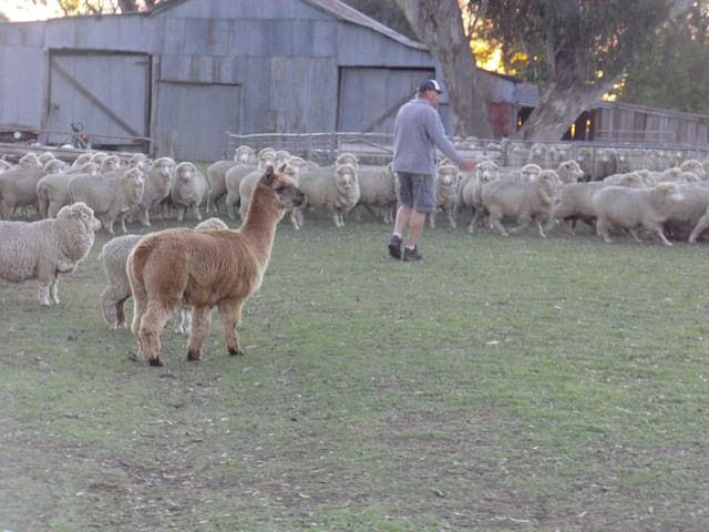 """GAZA"" Glen Innes working Sheep Farm. - Glen Innes"