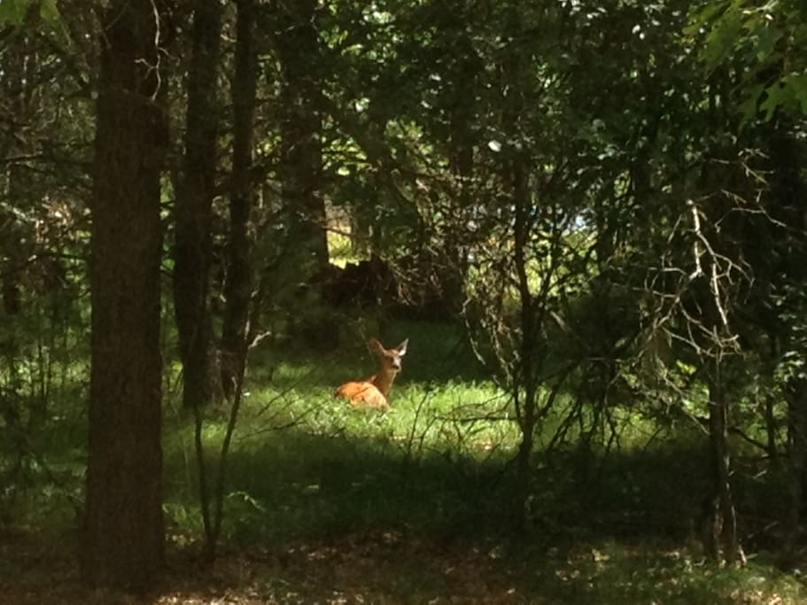 My wife took this picture of a fawn in our back yard. Deer can regularly be seen in the early mornings walking through the back yard by the lake.