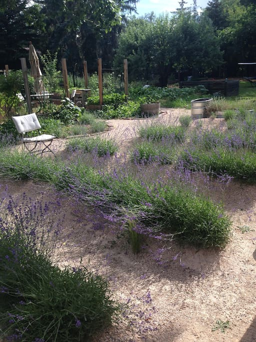 Backyard in summertime with lavender.