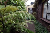 Silver ferns in garden by room.
