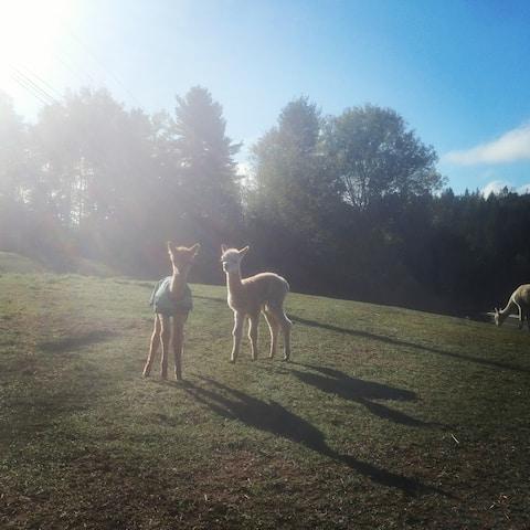 Camping at Brigadoon Fiber Farm Alpacas
