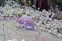 This visitor really needs little explanation. However it is a wallaby with baby nestled in pouch.