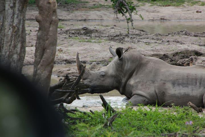 Rhino in Kruger Park