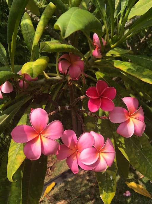 Fresh vibrant pink plumeria flowers in our yard! You are more than welcomed to pick for your enjoyment!