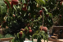 One of 25 fruit and nut trees, this peach filled tree overlooks the pool. Feel free to pick a few of the fruit. Apricots are usually ripe in late June and early, plums and peaches in July or early August. Apples in late September or October. Yum!