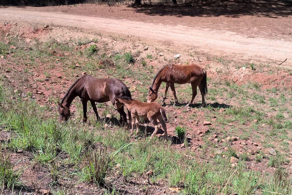 Wild Horses at Kaapschehoop
