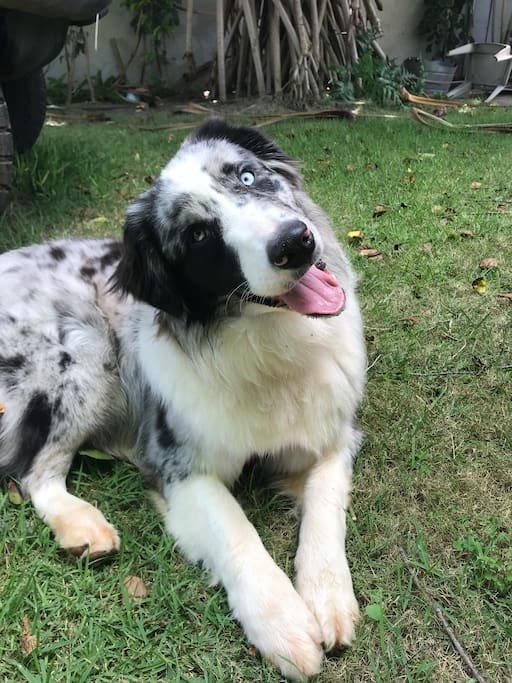 Please be comfortable with pets as our big 9mo Australian shepherd loves pets and cuddles!