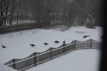 Wild Turkey often come around in winter...