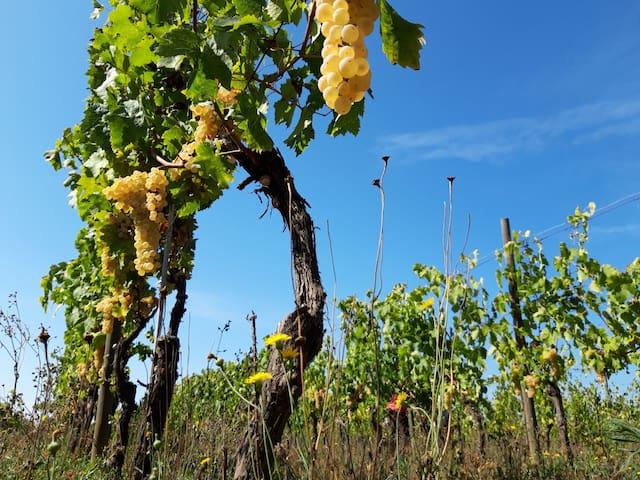 Orange Wine Vermentino