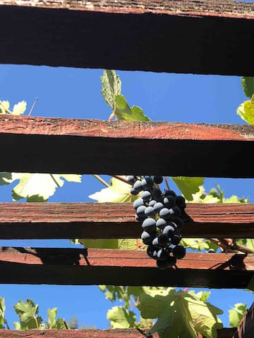 grapes are growing