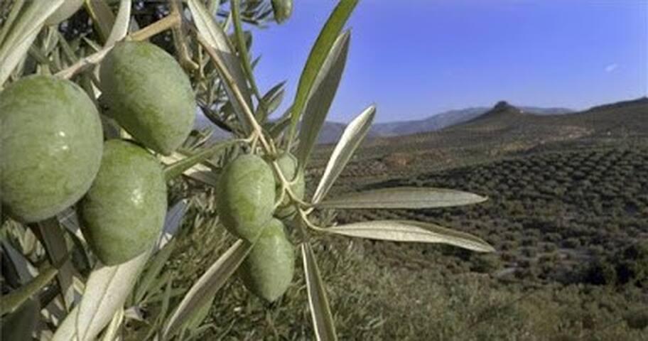 Mis Rutas en la zona: Naturaleza y Olivos