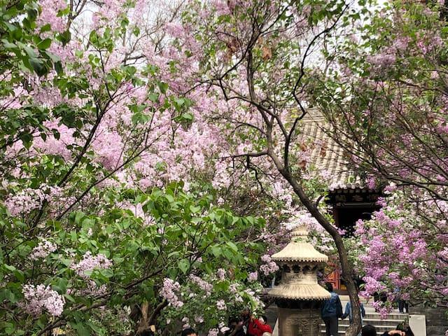 古刹幽香 ——京城最著名的佛教古刹法源寺满园盛开的丁香沁人心脾涤荡心灵