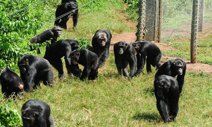 Exclusive Chimp Experience Uganda