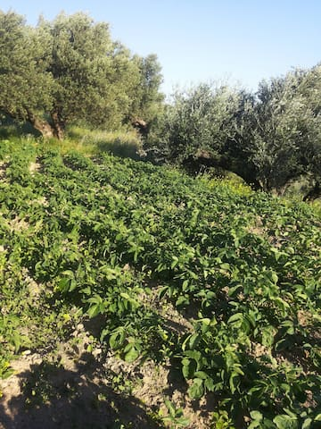 Potatoes and olive trees