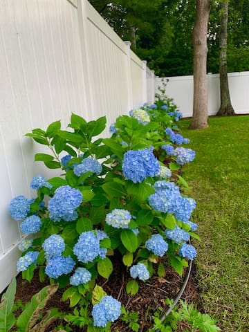 Hydrangeas are blooming alongside the pool