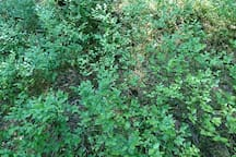 During summer time, late July & August, the forest is filled in with blueberries.  You will find proper tools to pick them up in the kitchen, at the bottom of the locker right next to the fridge, they are red ;)