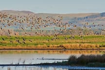 Pink footed geese arriving at Loch Leven