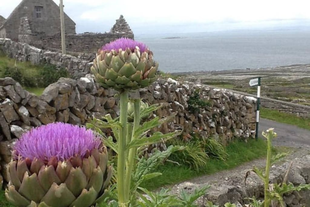 View from the cottage garden over Galway Bay (with artichokes ready to pick)