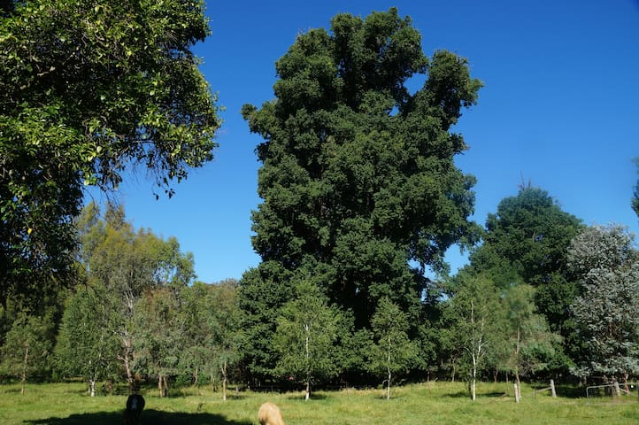 Largest Elm tree in the world!