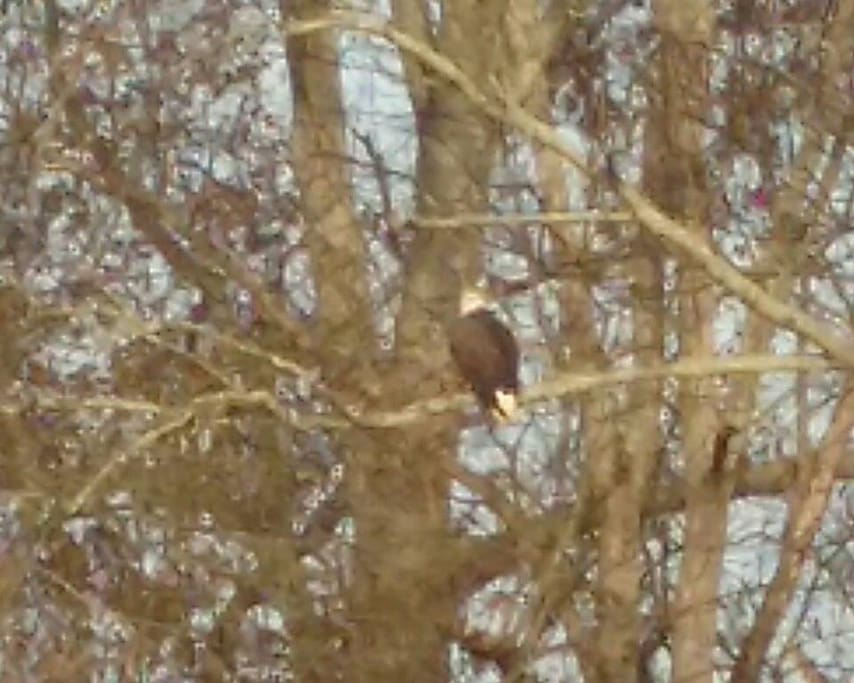 If you are lucky, you might spot a bald eagle! This shot taken 11/2017