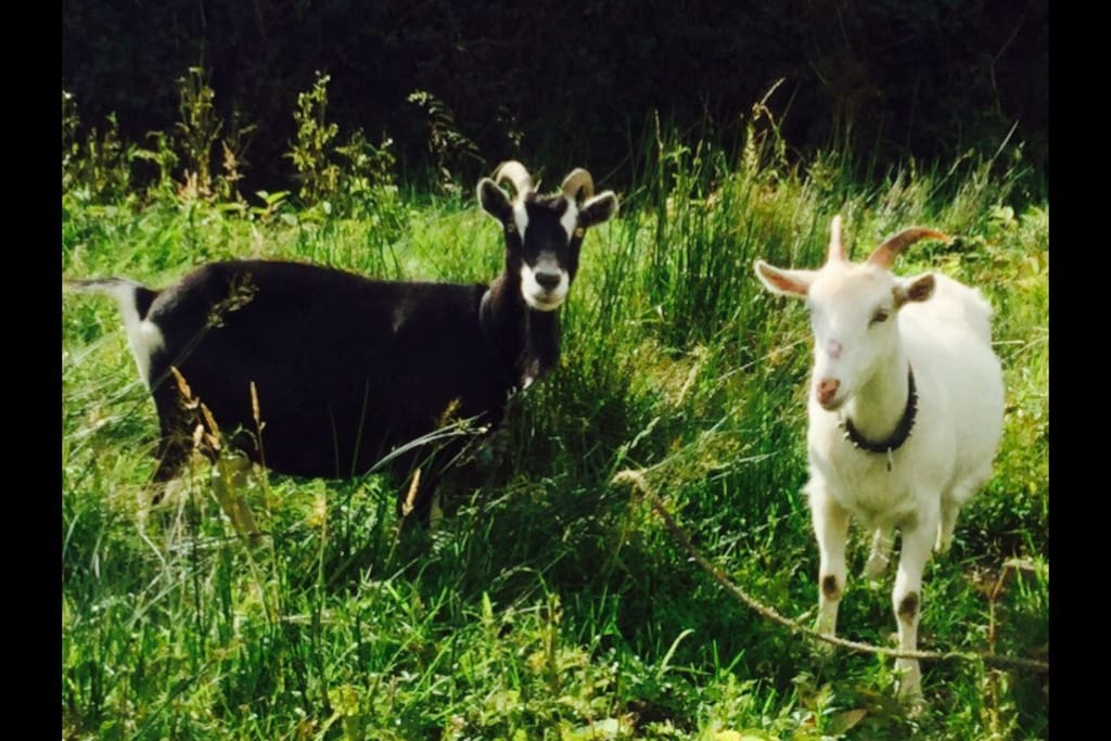 "Irene the goat and Molly moo. Follow Irene on Facebook... Search ""Irene the goat""   ❤️"