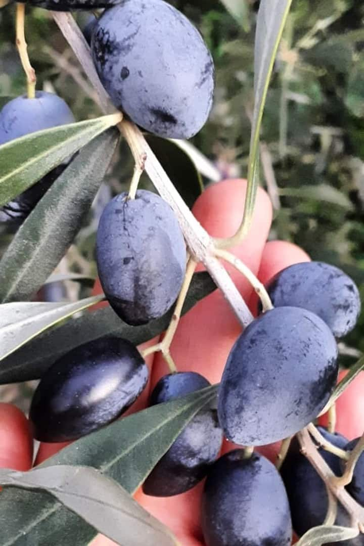 Learn to spot the best olives