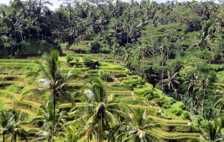 Ceking rice terraces