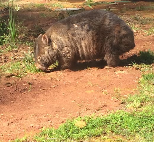 Our wombat doesn't know the meaning of nocturnal!
