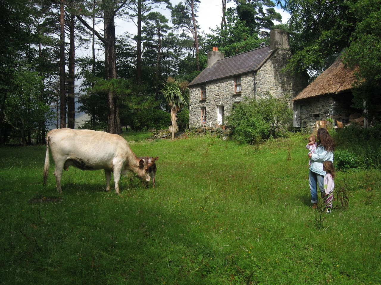 The cottage, its yard, and the cow that wandered in one day (and then had a baby cow.)