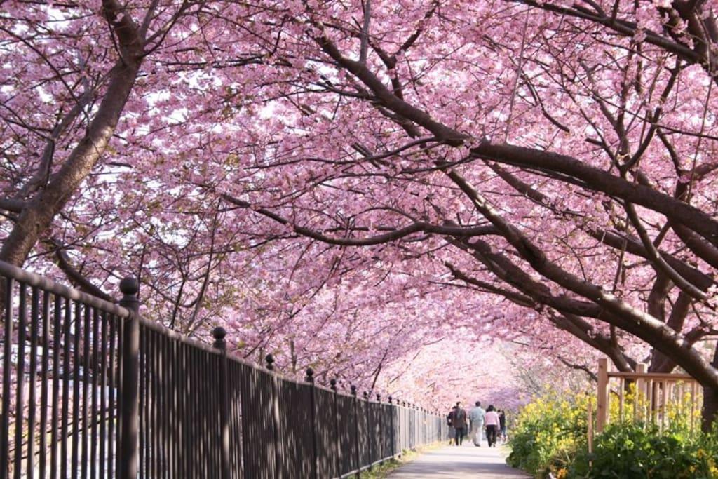 Kawazu Cherry Blossom in Feb.