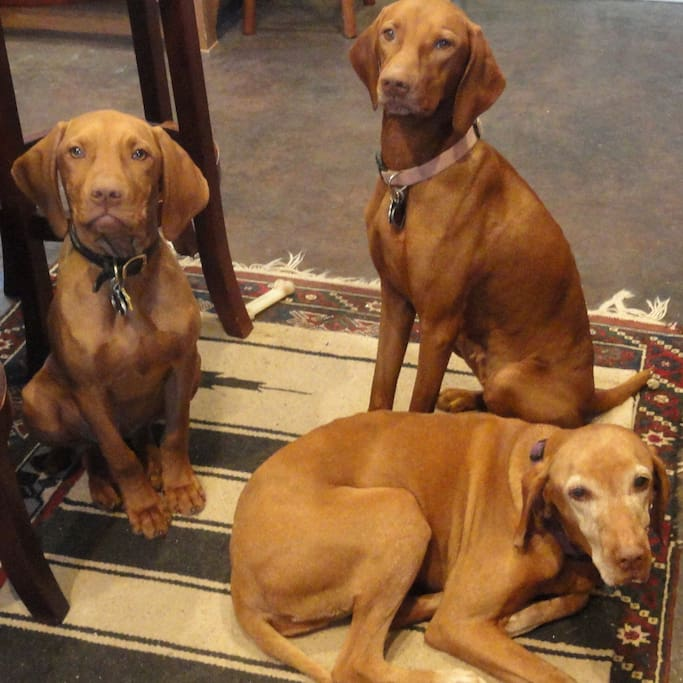 Our Vizslas