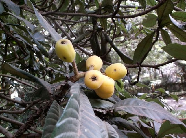 Loquats in season