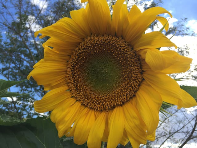 Summer sunflowers in gardens and paddocks across the Liverpool Plains