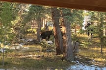 Frequent moose in yard