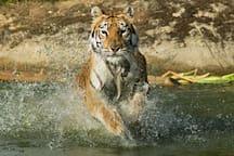Meet the tigers at Sandown Zoo