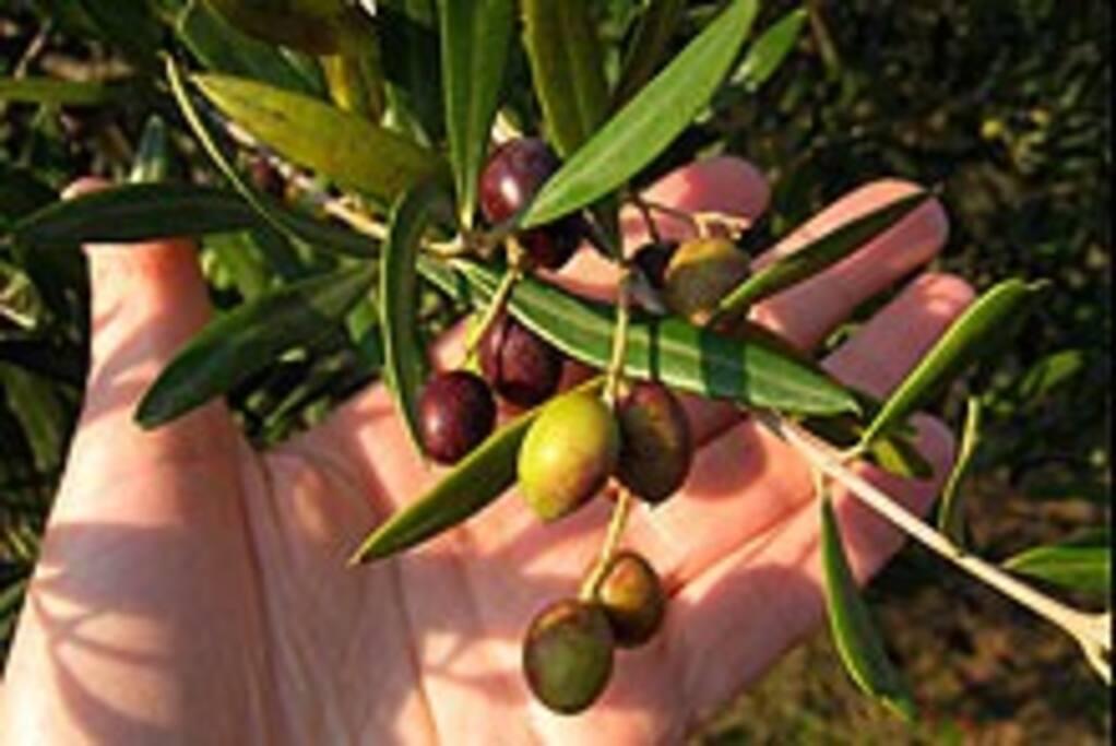 Olivenanbau in der Region Canino
