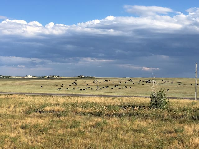 Summer view of a cattle herd across the road.
