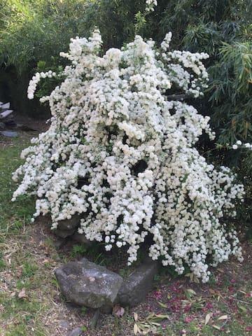 Biancospino fiorito del giardino