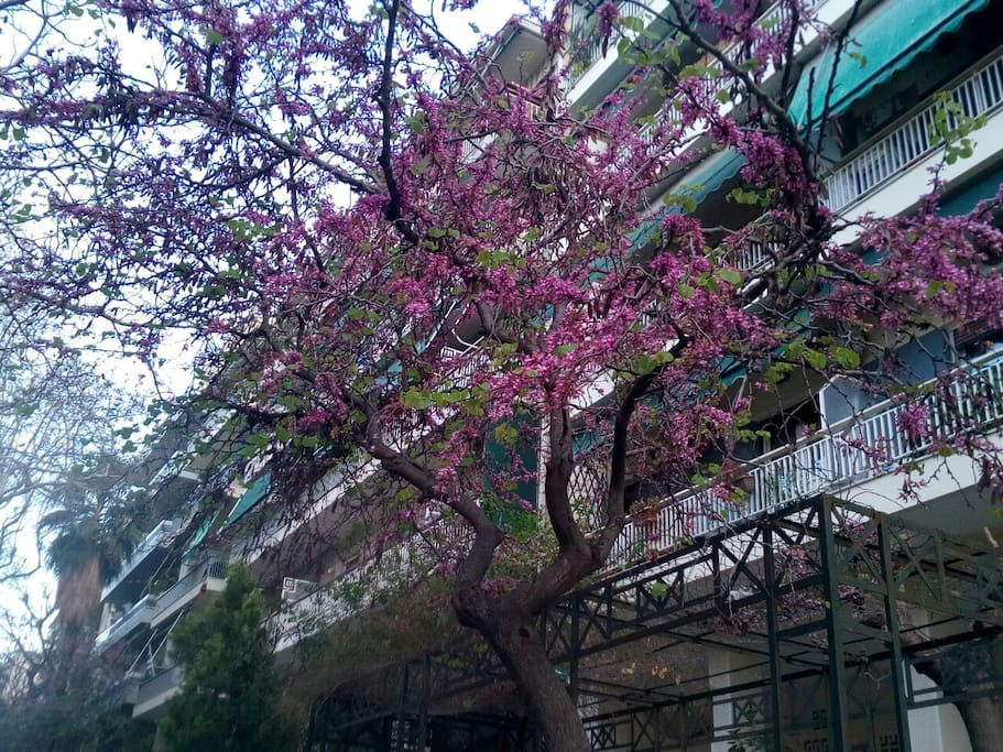 The redbud tree of our street in full bloom!