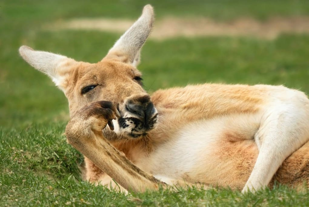 Marvel at the antics of our wild kangaroos