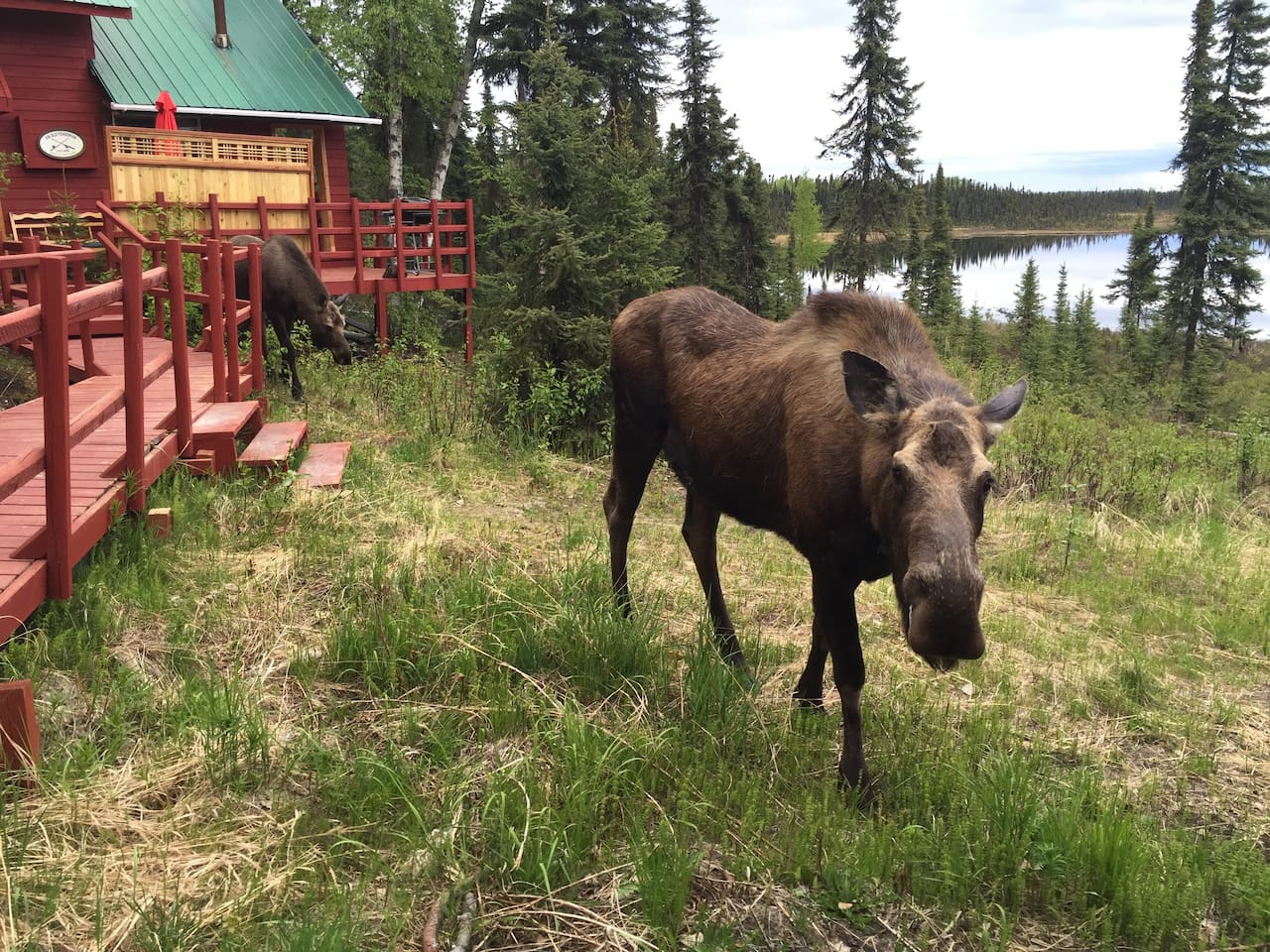 """Two furry visitors photographed by the cottage. Welcome to """"A Walden's Pond"""" in Soldotna, Alaska!"""