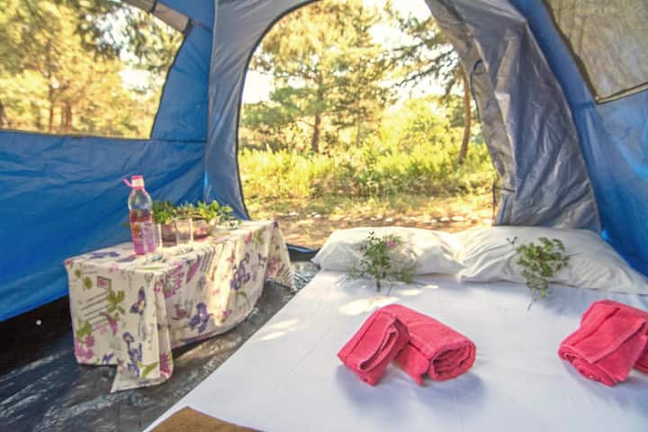Camping Tent in Pine Forest