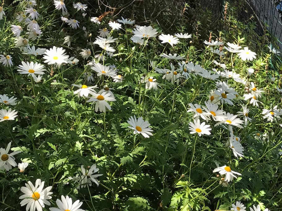 Le nostre margherite in fiore