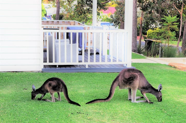 Some of the local 'roos are regular visitors.