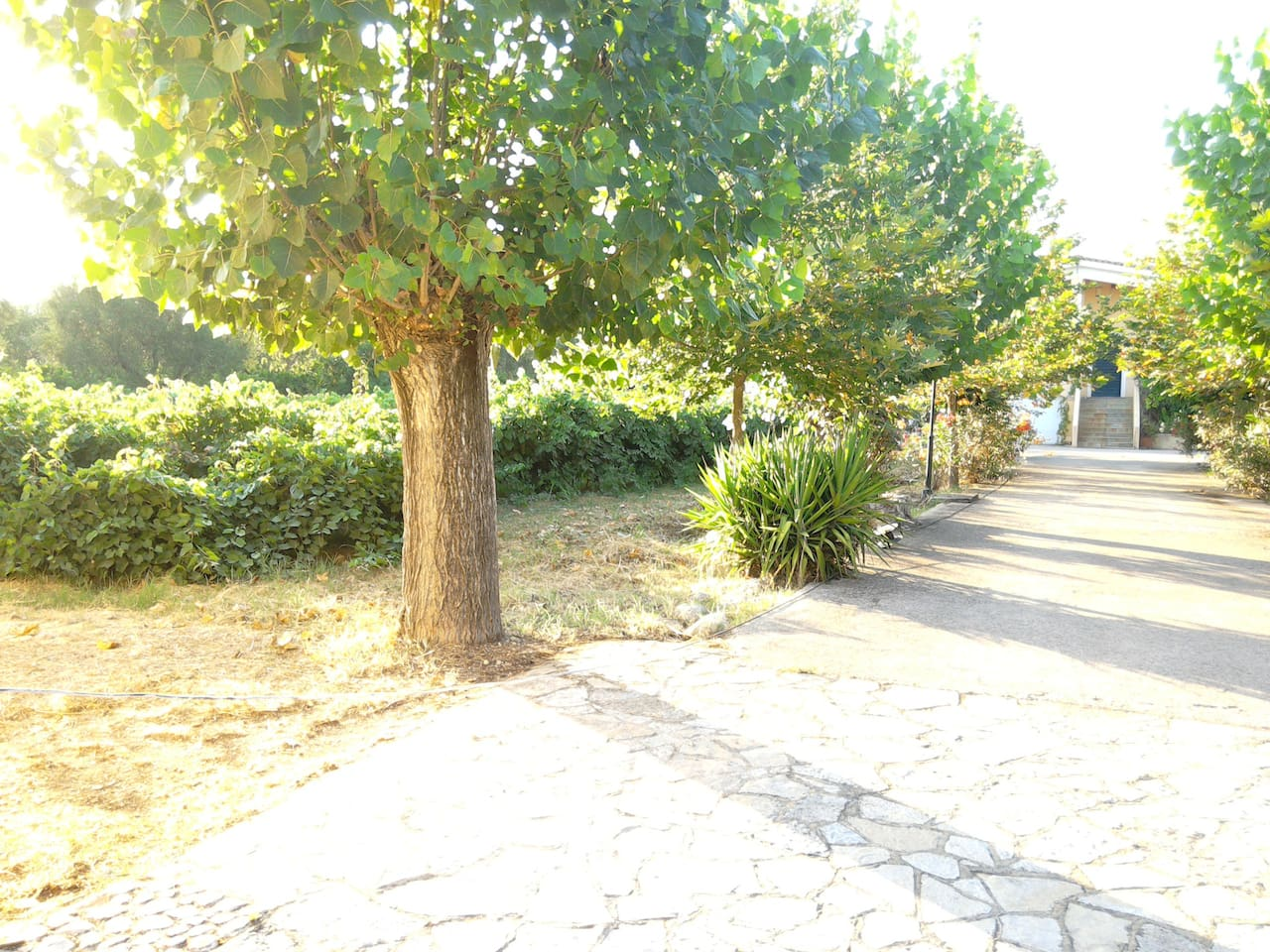 At the left of the alleyway is the one of the vineyards of the farm.