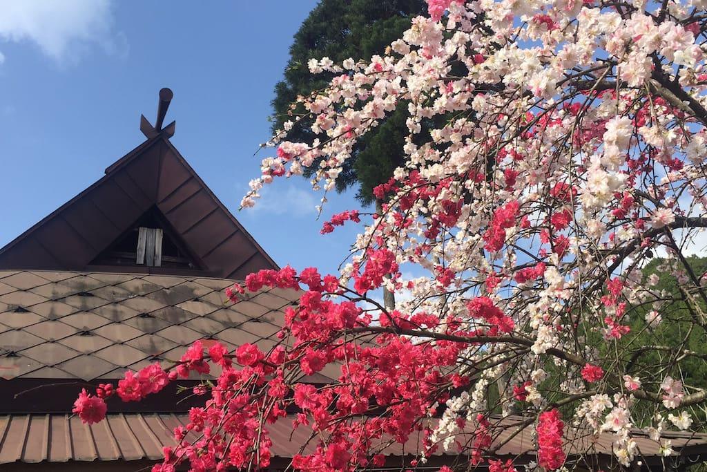 夏前の桃の花です。桃の実が楽しみです。