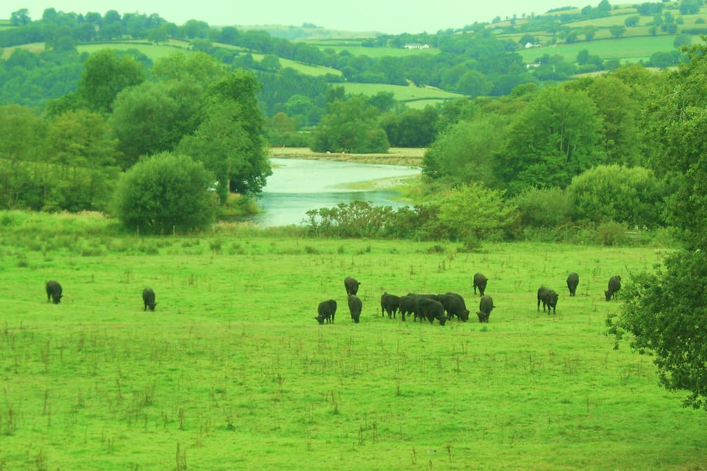 View from farmhouse cattle grazing on the river bank