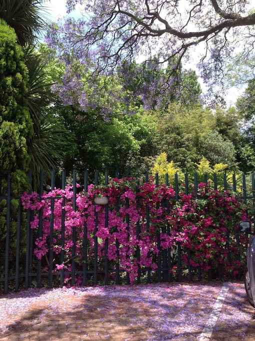 Bougainvilla in spring.