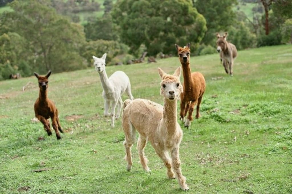 Our friendly alpaca friends who will come and greet you - Ruby, Allie, Chestnut & 'Sold'.